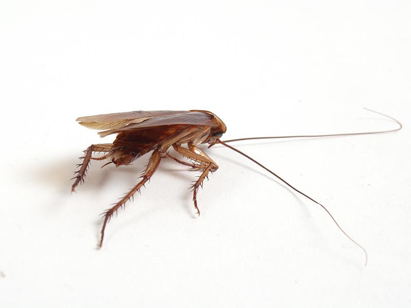 Baby Cockroach Vs Bed Bug : Absecon Island Pest Control Exterminators NJ